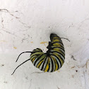 Monarch Caterpillar (preparing to pupate)