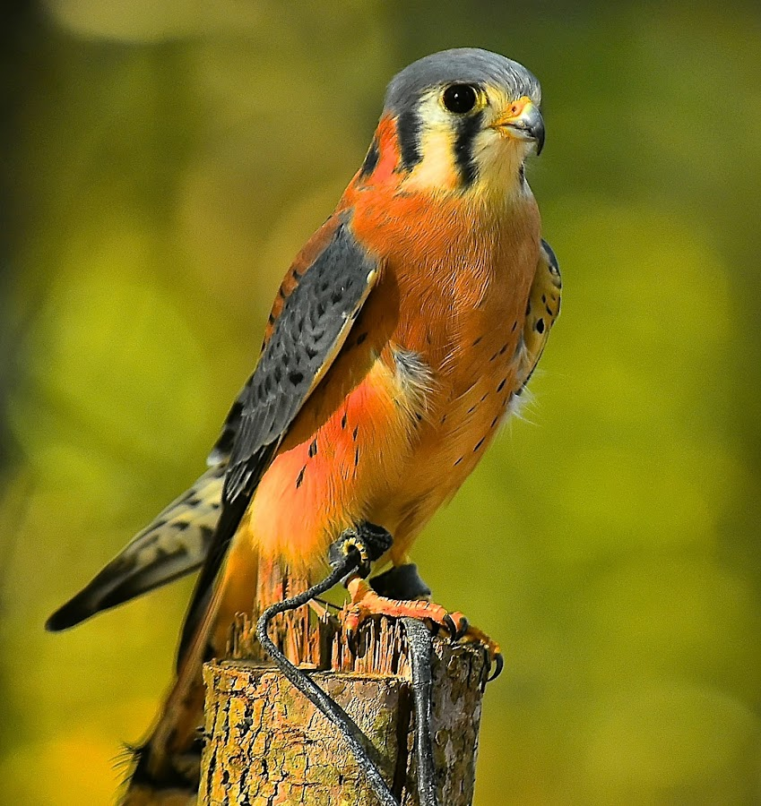 Puck, American Kestrel by Roy Walter - Animals Birds ( bird, captivity, american kestrel, raptor, animal )