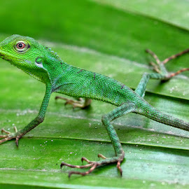 LITTLE CHAMELEON by Kuswarjono Kamal - Animals Reptiles