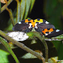 Treehoppers & Nymphs
