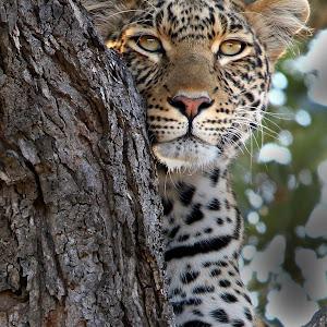 Portrait of a leopard.jpg