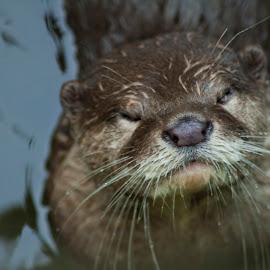 beaver by Septyan Lestariningrum - Animals Other Mammals