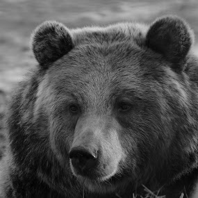 Bear Rest by Dustin White - Black & White Animals ( bear, black and white, close up, mammal, animal )