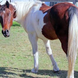 Mr Blue by Sue Delia - Animals Horses ( paint horse, horse, pinto, gelding,  )