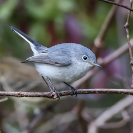 Blue Gray Gnatcatcher by Robert Strickland - Animals Birds ( studio, cartoon, bright, wise, illustration, wisdom, nice, passer, shot, feather, birds, robin, predator, time, owlet, ornithology, tree, nature, fulvus, wings, raptor, falconry, griffon, flower, black, wild, isolated, element, fruit, wing, eagle, symbol, singing, white, parent, forest, prey, hawk, sweet, environment, winter, sitting, fly, food, horizontal, outdoors, owl, endangered, branch, adorable, perching, songbird, small, floral, graphic, tropical, retro, wildlife, cute, vultur, drawing, character, berry, predatory, bilberry, carrion, beautifully, gyps, vulture, vintage, wingspan, beautiful, plumage, sparrow, up, haliaeetus, bird, hunter, flight, pattern, pet, background, beak, falcon, cut, garden, standing, design )