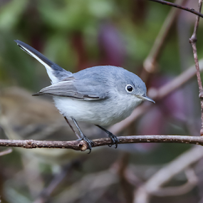 Blue Gray Gnatcatcher by Robert Strickland - Animals Birds ( studio, cartoon, bright, wise, illustration, wisdom, nice, passer, shot, feather, birds, robin, predator, time, owlet, ornithology, tree, nature, fulvus, wings, raptor, falconry, griffon, flower, black, wild, isolated, element, fruit, wing, eagle, symbol, singing, white, parent, forest, prey, hawk, sweet, environment, winter, sitting, fly, food, horizontal, outdoors, owl, endangered, branch, adorable, perching, songbird, small, floral, graphic, tropical, retro, wildlife, cute, vultur, drawing, character, berry, predatory, bilberry, carrion, beautifully, gyps, vulture, vintage, wingspan, beautiful, plumage, sparrow, up, haliaeetus, bird, hunter, flight, pattern, pet, background, beak, falcon, cut, garden, standing, design,  )