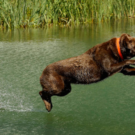 making a splash by Helen Bagley - Animals - Dogs Playing ( playing, labrador retriever, fetch, dogs, labrador, dog, swimming, chocolate lab )