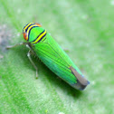 Leafhopper Sharpshooter