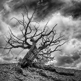 Angry Tree by Richard Tilton - Landscapes Deserts ( desert, tree, black and white, utah, bryce canyon )