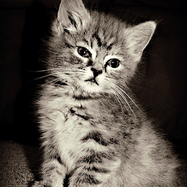 by Joyce Williams Carr - Animals - Cats Kittens