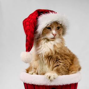 Santa Paws by Sondra Sarra - Public Holidays Christmas ( cat, red, santa, white, basket, gold, christmas balls, hat )
