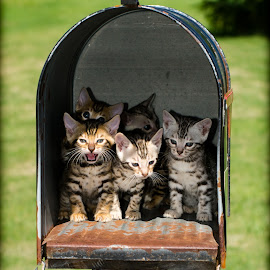 Special Delivery by Rob Ebersole - Animals - Cats Kittens ( kitten, cat, bengal kittens, maplewood bengals, bengal, leopard )