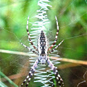 Writing Spider (Adult Female)