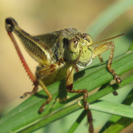 Say Smile!! by Cindy Cooper Houser - Animals Insects & Spiders ( bugs, bug, smile, insect, insects, grasshopper, animal, hopper )