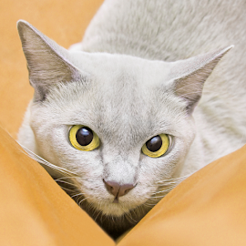 Mischievous by Mia Ikonen - Animals - Cats Portraits ( playful, lilac, finland, cute, burmese )