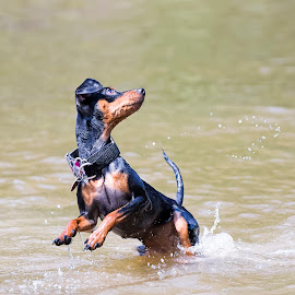 I've got this! by Jason Nordby - Animals - Dogs Playing ( fetch, water dog, action, min pin, miniature pinscher )