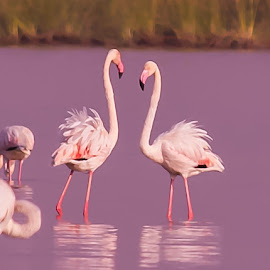Made for each other by Pallavi Parab - Novices Only Wildlife ( pallavi parab, gujarat, little rann of kutch, flamingoes, wildlife, birds )