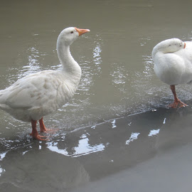 Togetherness by Mriganka Singh - Animals Other ( love, water, duck, weather, worship )