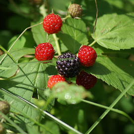 Barries by Vicki McCourt - Nature Up Close Gardens & Produce ( red, nature, black berries, black, berries,  )
