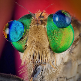 Two Dots in My Facet by Vincent Sinaga - Animals Insects & Spiders ( extreme macro, facet, insect, dots, robberfly )