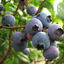 Cluster of Blueberries by Terry Moffatt - Food & Drink Fruits & Vegetables ( nature, bushes, fruits, blueberries, berries,  )
