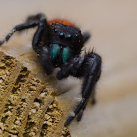 Jumping Spider by Bob Welch - Nature Up Close Hives & Nests (  )