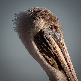 Pelican by Yasser Ayad - Animals Birds (  )