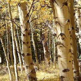 Ancient Aspens by Donald Henninger - Novices Only Landscapes ( natural light, fall colors, hidden, colorado, aspens, tree trunk )