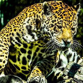 leopard by Eseker RI - Animals Lions, Tigers & Big Cats (  )