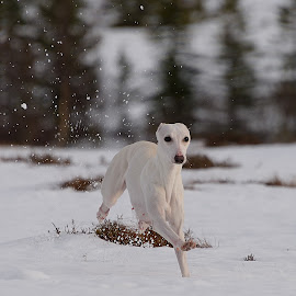 Whippet running by Marius Birkeland - Animals - Dogs Running ( dogs, snow, dog, running, whippet,  )