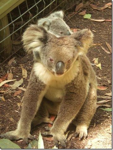 65 currumbin koala mum