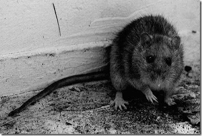 ratte1