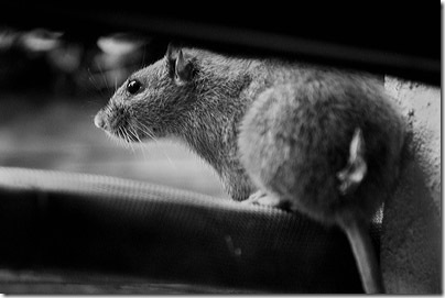 ratte3