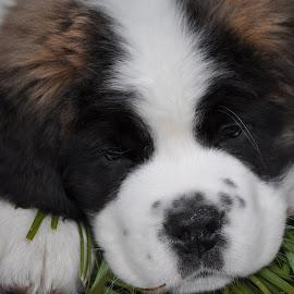 by Wendy Schultz - Animals - Dogs Puppies ( dogs, puppies; saint bernard; )
