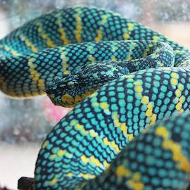 SUMATRAN TROPIDOLAEMUS WAGLERI  by Daffa Claude - Animals Reptiles