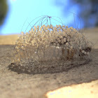 Tussock moth female, cocoon, eggs