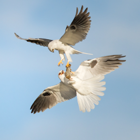 Food Exchange by Phoo (mallardg500) Chan - Animals Birds ( raptor, white-tailed kite, bird in flight, food eschange, bird, fly, flight )