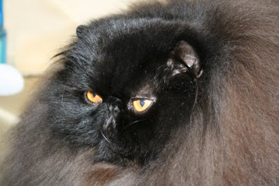Black long haired persian cat