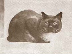 Traditional Siamese cat - Siamese cat history