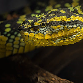 Wagler's pit viper by Dikky Oesin - Animals Reptiles