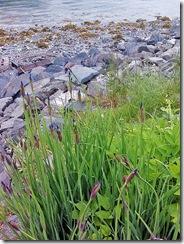 Wild Iris buds