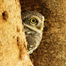 The Eyes by Sankaran Balaji - Animals Birds ( animals, nature, spotted owlet, birds, eyes )