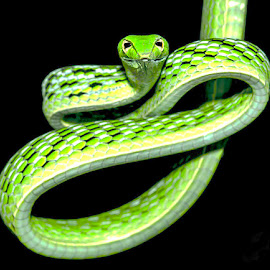Vine snake by Lisa Coletto - Animals Reptiles ( snake, checkered, tree dwelling, reptile )