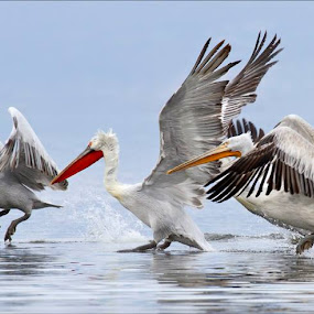 Pelican Crossing. by Marlene Finlayson - Animals Birds