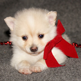 Christmas Puppy~Samuel~ by Leah Danker - Animals - Dogs Puppies ( samuel, cute puppy, christmas puppy, puppy, puppy portrait,  )