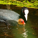 Eurasian coot (mother & chick)