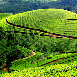 by Shameer Kamarudheen - Landscapes Prairies, Meadows & Fields ( greenery, kerala, landscape, munnar, tea estate,  )