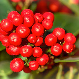 Red berries by Radu Eftimie - Nature Up Close Gardens & Produce ( red, berries )