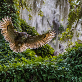 Great Horned Owl by Robert Strickland - Animals Birds ( studio, owl eyes, fauna, wise, stare, wisdom, horn, yellow, feather, eyes, camouflage, predator, owlet, nature, tree, watching, florida, wings, focused, horned, raptor, focus, pine trees, eye, wild animal, isolated, orange, wild, wing, spanish, attentive, alert, white, forest, prey, one animal, great horned owl, mammal, portrait, virginianus, obedient, ear, outdoors, owl, animal themes, cut out, feathered, natural, golden, face, tiger, brown and white, one, side view, moss, wildlife, education, bubo, looking, carnivore, chick, breeding, nocturnal, looking at camera, everglades, baby, juvenile, perch, closeup, animal, concentration, species, creature, avian, beautiful, nest, vertebrate, plumage, feathers, young, bird, hunter, great, in the wild, sunset, beak, brown, square, standing, , fly, flight, renewal, green, trees, forests, scenic, relaxing, meditation, the mood factory, mood, emotions, jade, revive, inspirational, earthly )