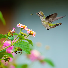 Ballerina by Kevin Mummau - Novices Only Wildlife ( flight, pollinator, hummingbird, pollination, garden, humming bird )